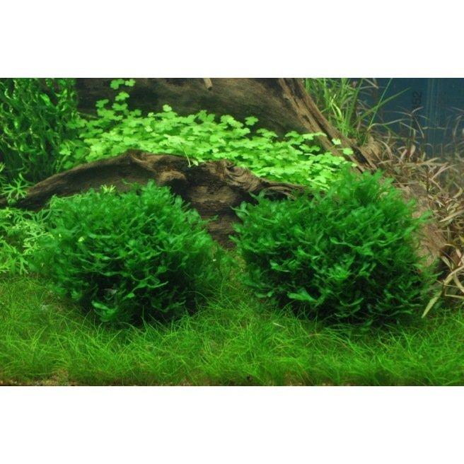Monosolenium Tenerum : Mousse pour aquarium