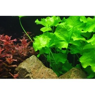 Nymphoides Taiwan - Plante d'aquarium d'arrière plan