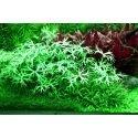 Ranunculus Inundatus: Plante d'avant plan
