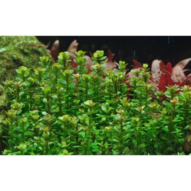 Rotala Bonsai - Plante de zone médiane