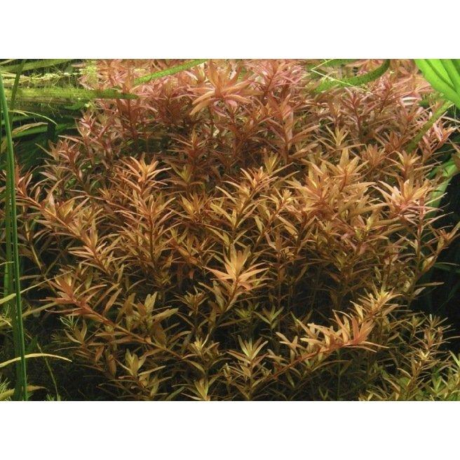 Rotala Rotundifolia : Plante d'arrière plan pour aquarium