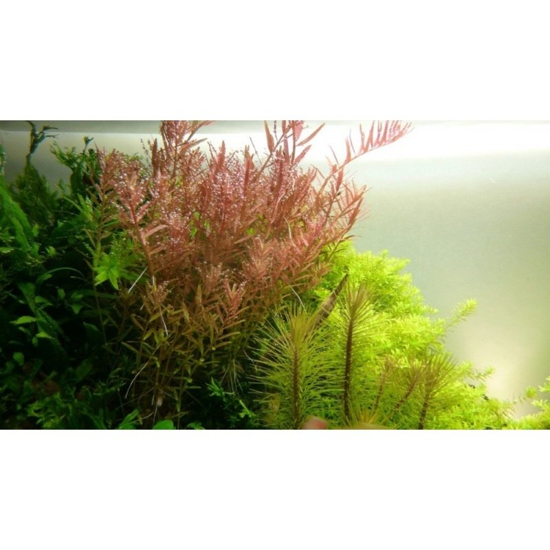 plante pour aquarium rotala rotundifolia. Black Bedroom Furniture Sets. Home Design Ideas