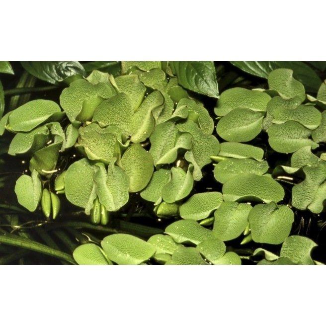 Salvinia Auriculata - Plante aquatique flottante
