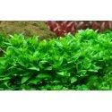 Staurogyne Repens - Plante d'aquarium in vitro pour avant plan