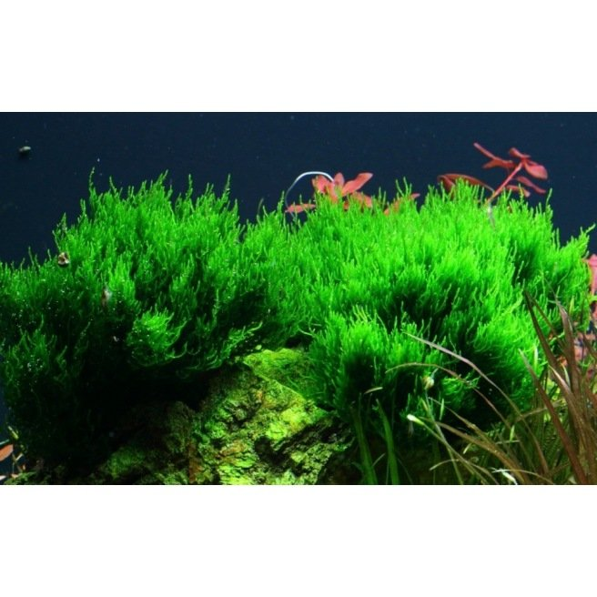 Taxiphyllum Flame - Mousse pour aquascaping