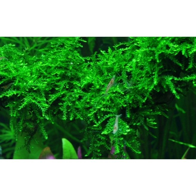 Vesicularia Ferrieri Weeping - Mousse pour aquascaping