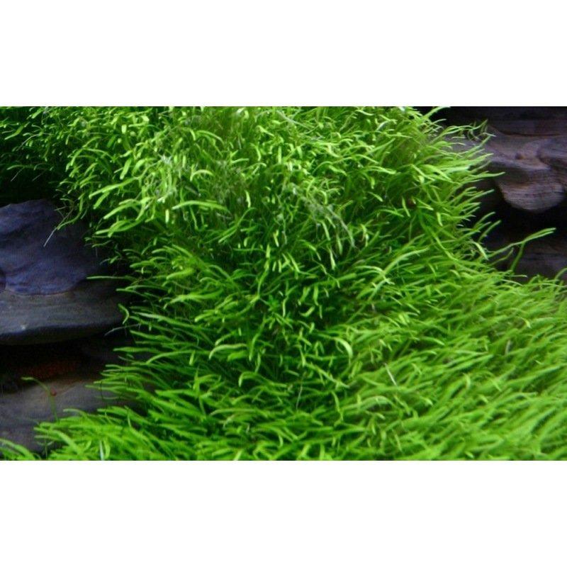 Plante aquatique rampante d 39 avant plan utricularia for Plante rampante