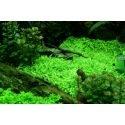 Utricularia Graminifolia - Plante rampante