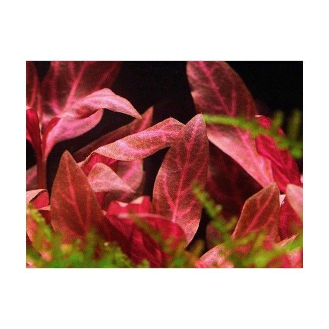 Alternanthera Rosanervig - Plante pour zone médiane