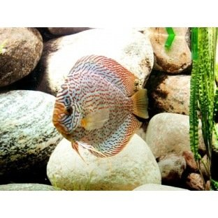 Discus German Wonder - Elevage allemand Stendker