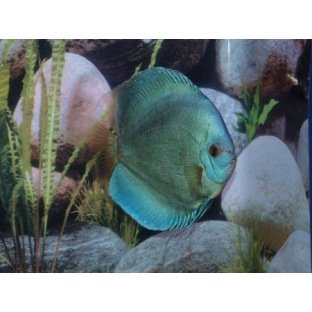 Discus Blue Diamond - Elevage allemand Stendker