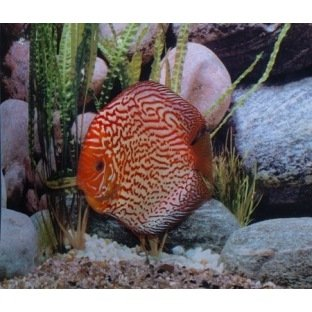 Discus Pigeon Blood Red - Elevage allemand Stendker