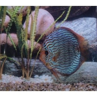 Discus Red Turquoise - Elevage allemand Stendker