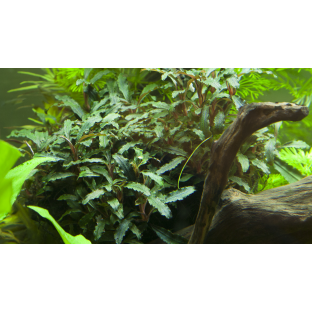Plante facile - Bucephalandra Sp Red