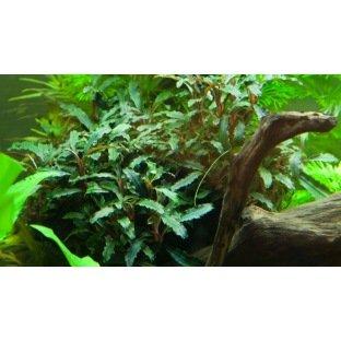 Plante pour Aquarium - Bucephalandra Wavy Green en pot