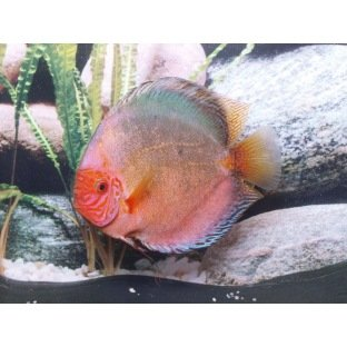 Discus Dark Angel - Elevage allemand Stendker
