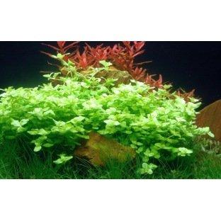 Bacopa Australis - Plante à tige pour l'avant-plan de l'aquarium