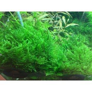 Taxiphyllum Taiwan Moss - Variété de mousse originale et luxuriante