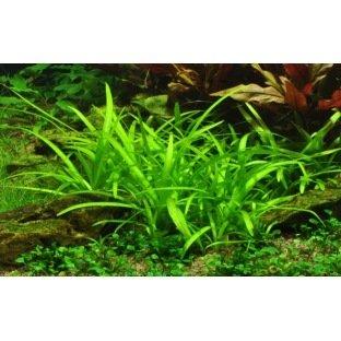 Sagittaria Subulata - Plante d'aquarium pour débutant ou pour aquariums avec des poissons rouges