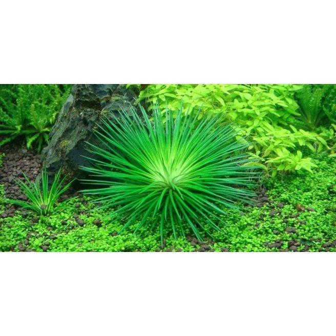 Eriocaulon Cinereum - plante d'aquarium à la forme de palmier