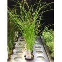 Cyperus Helferi - Plante pour l'arrière plan et la zone médiane de l'aquarium