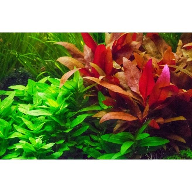 Alternanthera Reineckii - Plante pour arrière plan