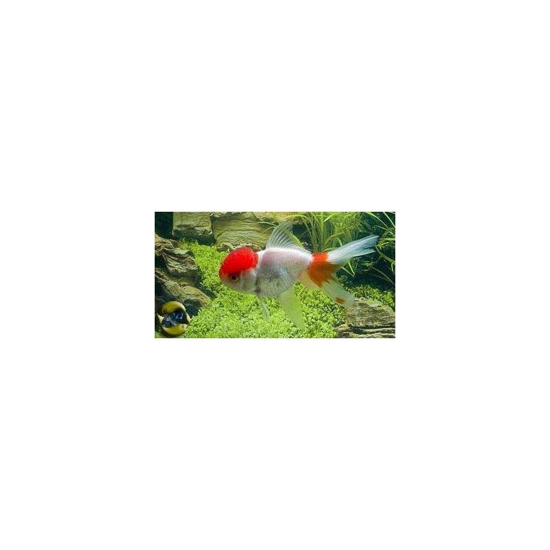 T te de lion rouge blanc carassius auratus for Prix poisson rouge tete de lion