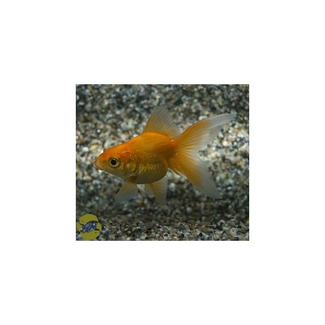 Voile de chine rouge carassius auratus for Nourriture poisson rouge voile de chine