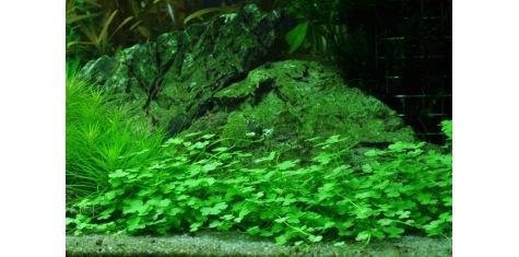 Plantes D'Avant Plan Pour Aquarium.