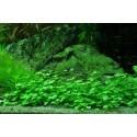 Plantes de premier plan pour aquarium