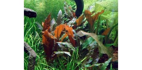 Plantes Zone Médiane pour aquarium